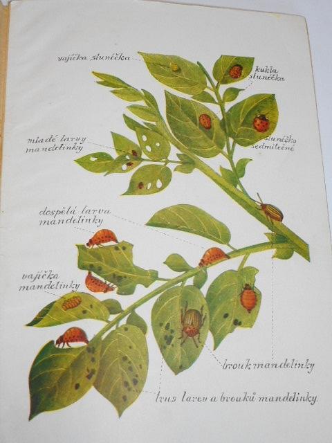 Mandelinka bramborová a ochranná opatření proti ní - 1948